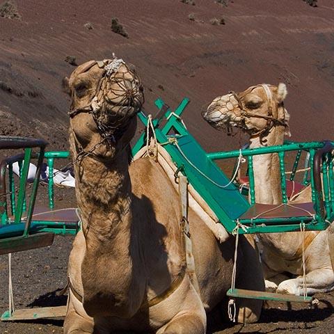 Верблюды дожидаются очередных туристов, чтобы прокатить их по Национальному парку Тиманфайя